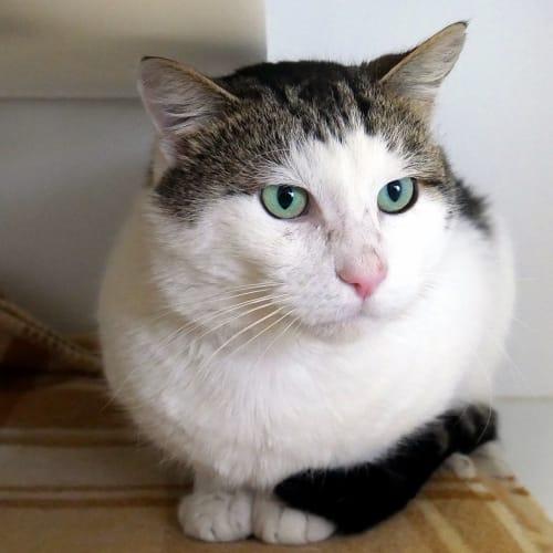 Jabber STA005455 - Domestic Short Hair Cat