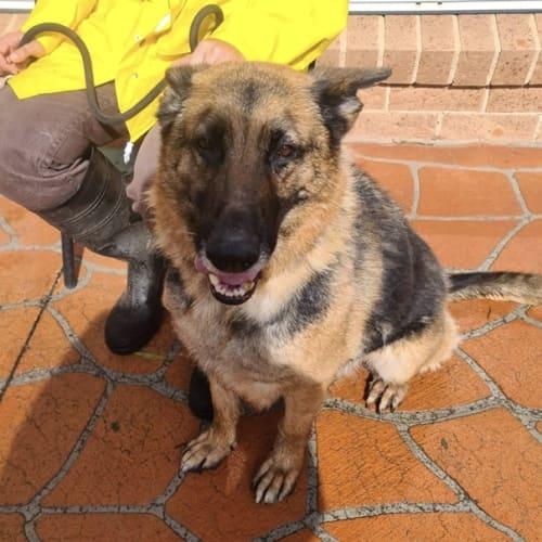 Lucy ** Adorable Girl ** - German Shepherd Dog