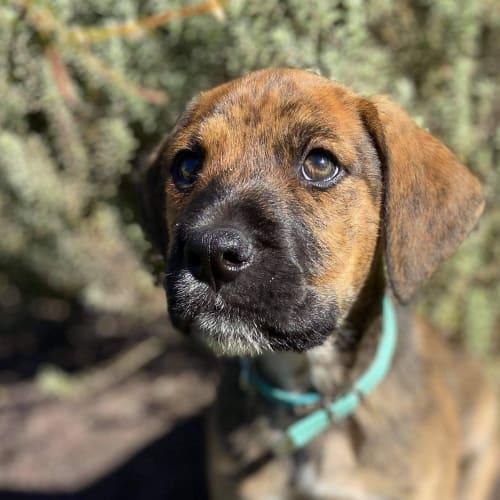 Cardon - Mixed Breed Dog
