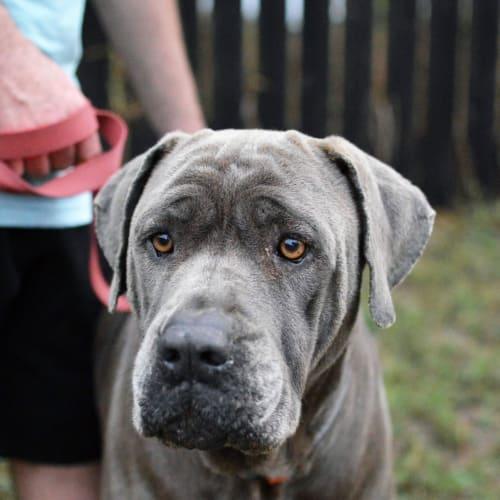 Cassius - Neapolitan Mastiff Dog