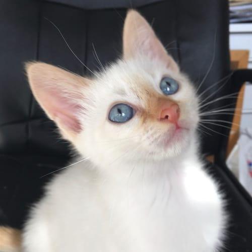 Neptune - Dsh Cat