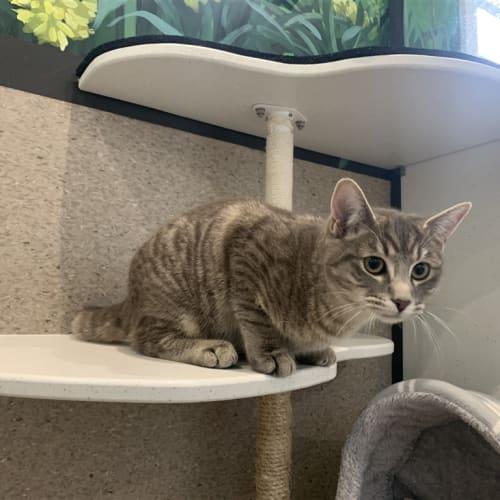 Mars - Domestic Short Hair Cat