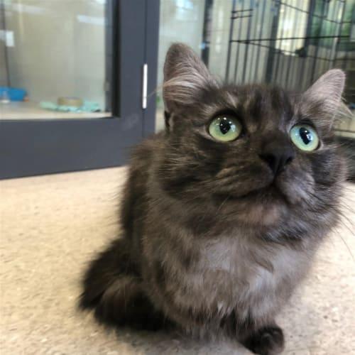 Teresa - Domestic Short Hair Cat