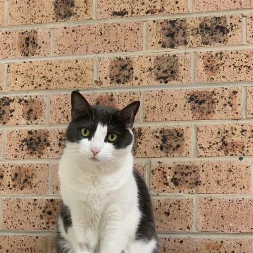 Memphis  - Domestic Short Hair Cat