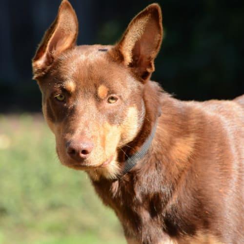 Buster  - Kelpie Dog