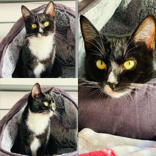 3496 - Soxy - Domestic Short Hair Cat