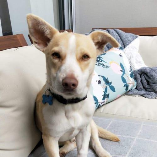 Coby  - Corgi Dog