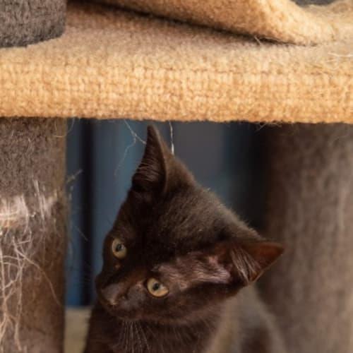 Special K - Domestic Short Hair Cat