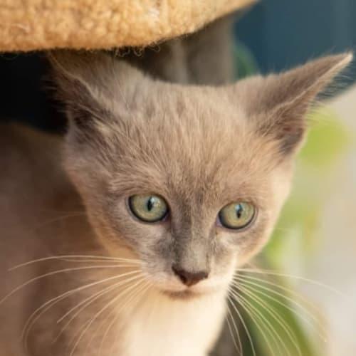 Honey Puffs - Siamese Cat