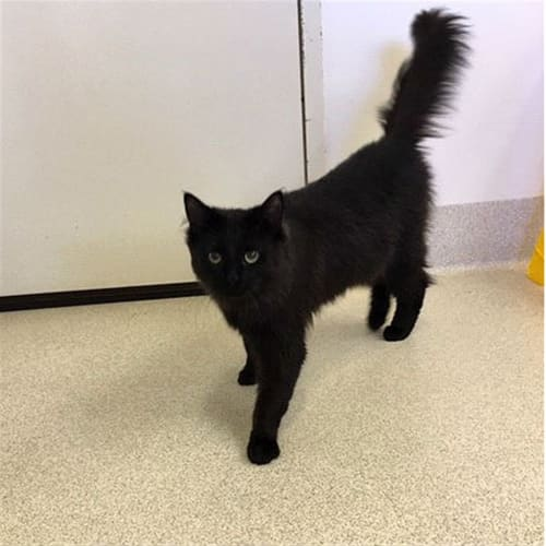 Clyde - Domestic Medium Hair Cat