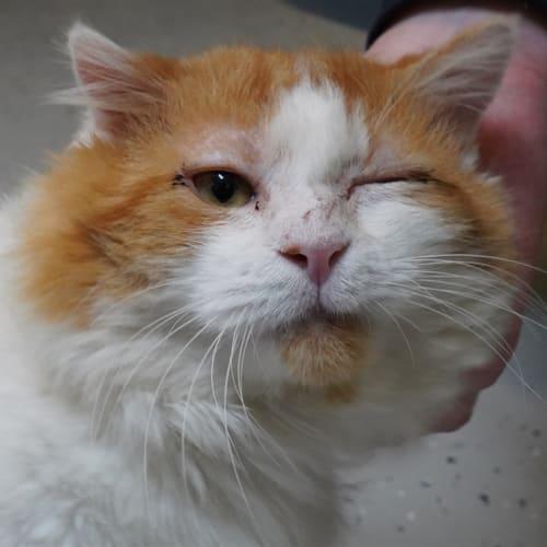 Dingo - Domestic Longhair Cat