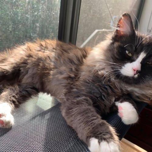 Cino - Domestic Longhair Cat