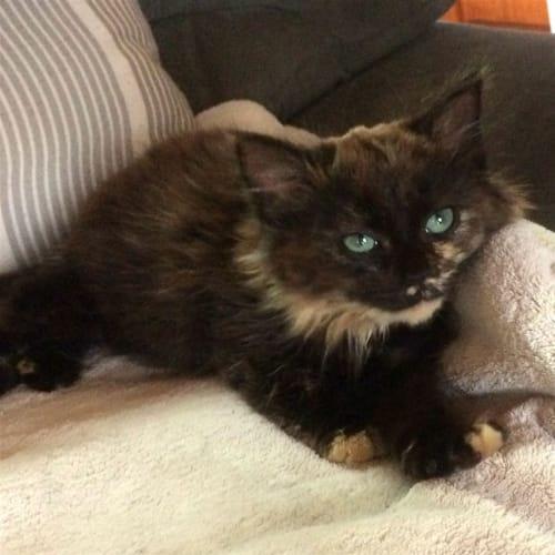 Mischief - Domestic Medium Hair Cat