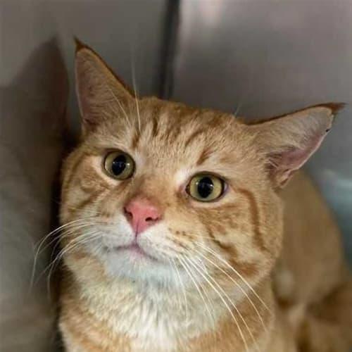 Gourd - Domestic Short Hair Cat