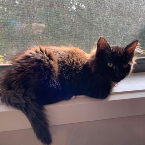 Chai - Domestic Longhair Cat