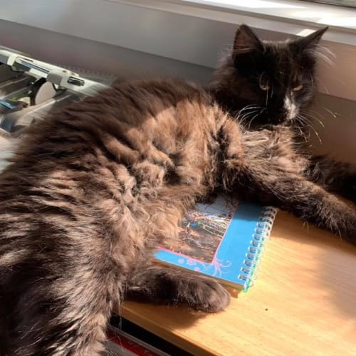 Mocha - Domestic Longhair Cat