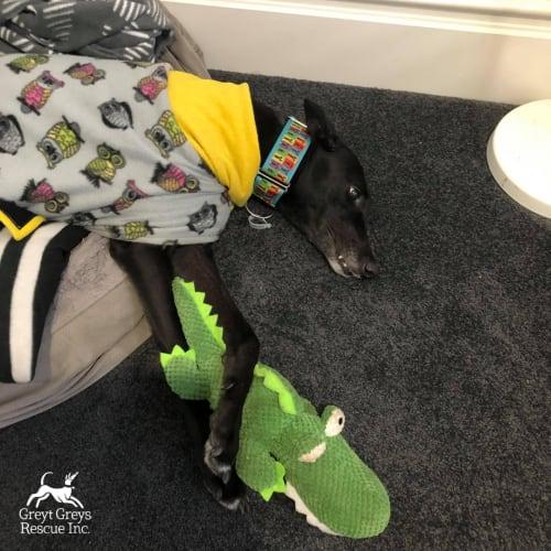 Dot - Greyhound Dog