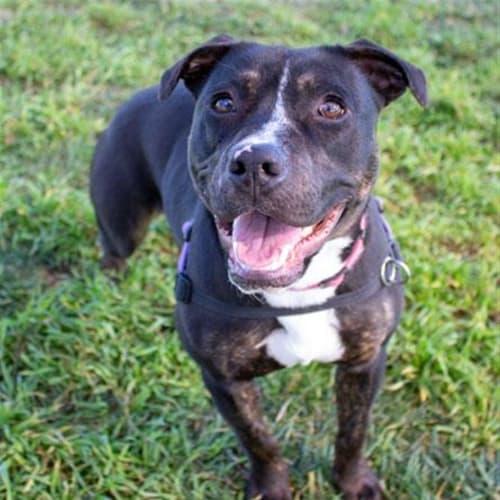 Stevie - Staffordshire Bull Terrier Dog