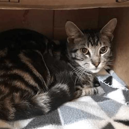 Caspian - Domestic Short Hair Cat