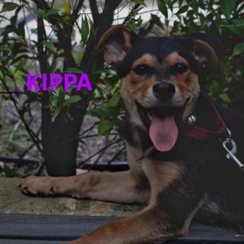 Kippa - Rottweiler Dog