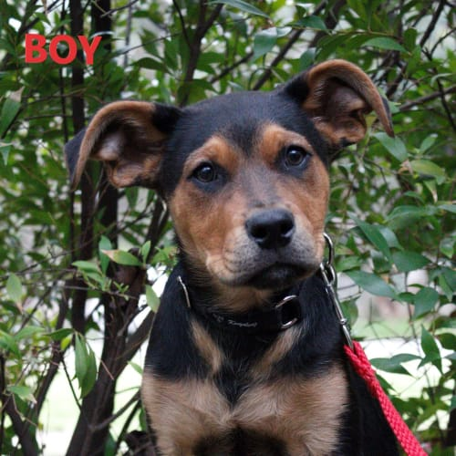 Boy - Rottweiler Dog