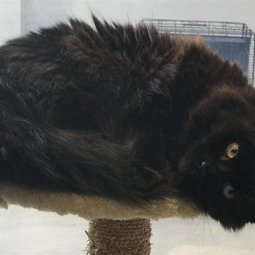 Fluffy - Domestic Long Hair Cat