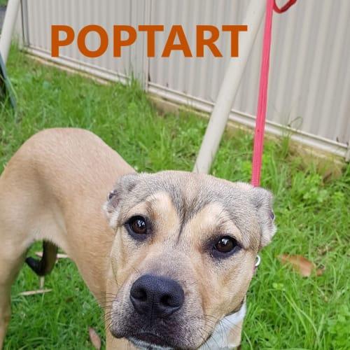 Poptart - American Staffordshire Terrier Dog