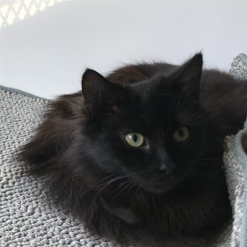 Calista - Domestic Medium Hair Cat