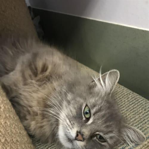 Marissa - Domestic Medium Hair Cat