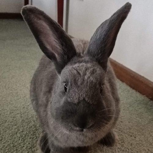 Snoop - Domestic Rabbit