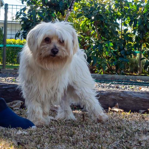 Milkie - Maltese Dog