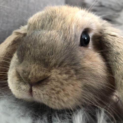 Penelope - Dwarf lop Rabbit
