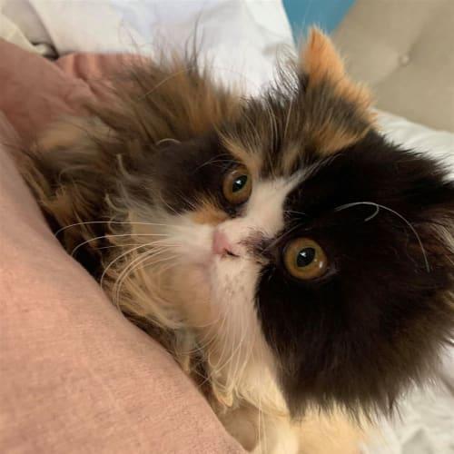 Sahara - Persian Cat