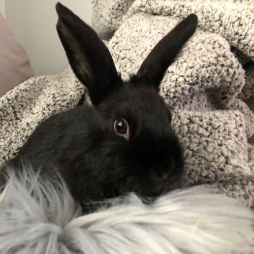 Cleo - Dwarf lop Rabbit