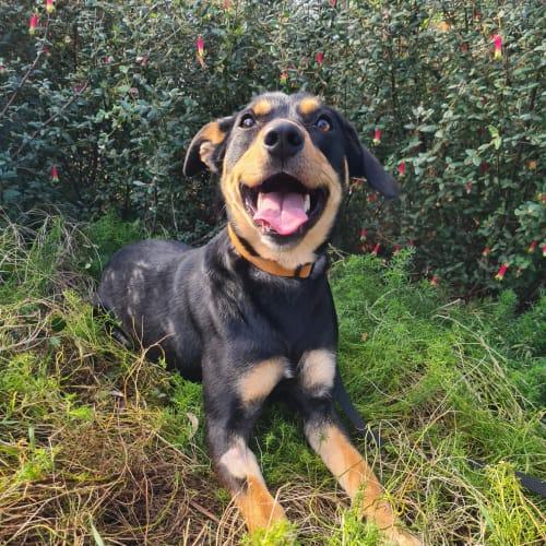 Daisy - Kelpie Dog