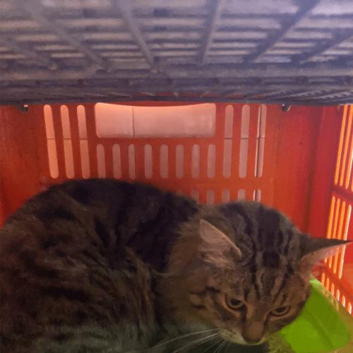 Beignet Ernie - Domestic Medium Hair Cat