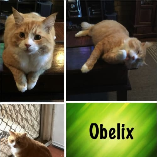 Obelix - Domestic Medium Hair Cat
