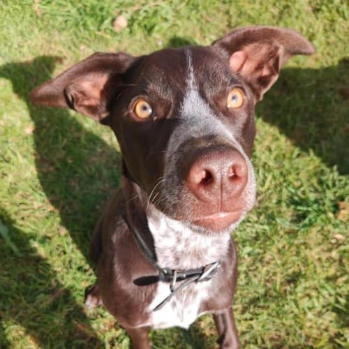 Charlie Brown  - German Shorthaired Pointer Dog