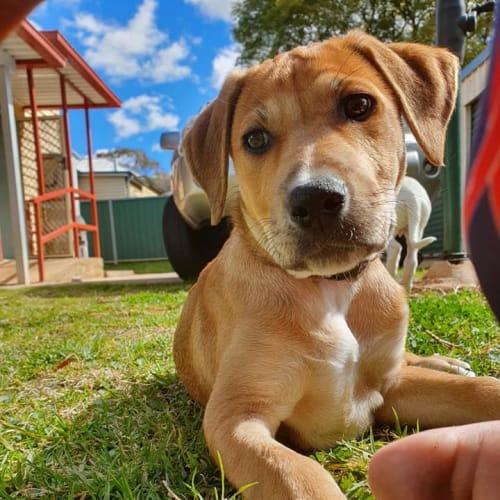 Amber - American Staffordshire Bull Terrier x Bullmastiff x Kelpie Dog