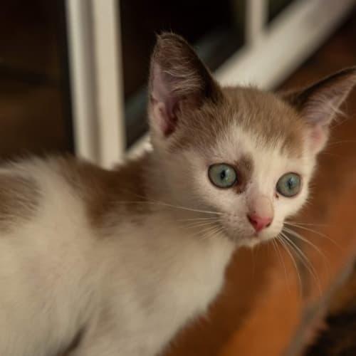 Weet Bix - Siamese Cat