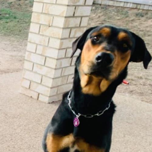 Izzie - Rottweiler Dog