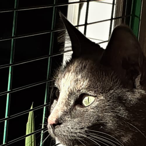 Layla - Domestic Short Hair Cat