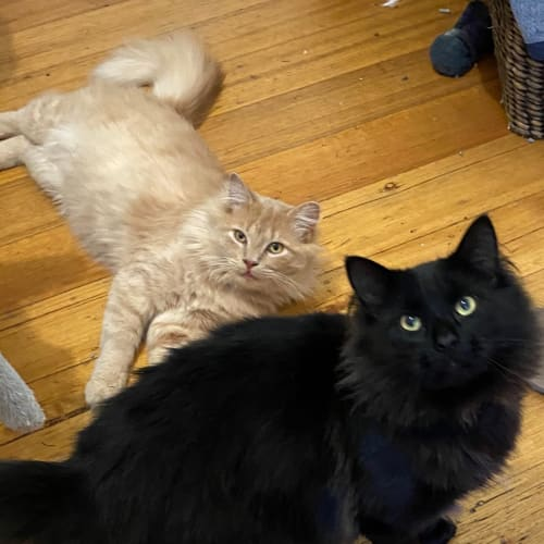 Harry and Ayn - Domestic Medium Hair Cat