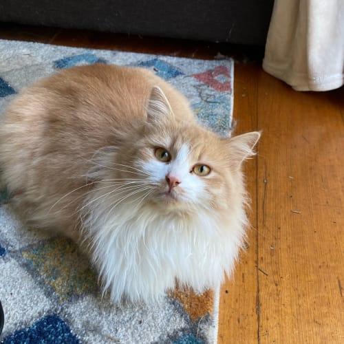 Astrid (AKA KFC) - Domestic Medium Hair Cat