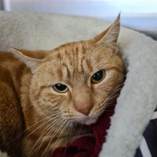 Pringles - Domestic Short Hair Cat