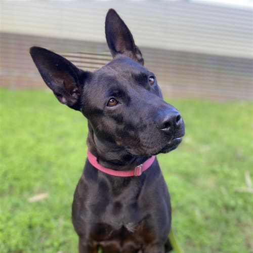 Princess - Staffordshire Bull Terrier x Heeler Dog