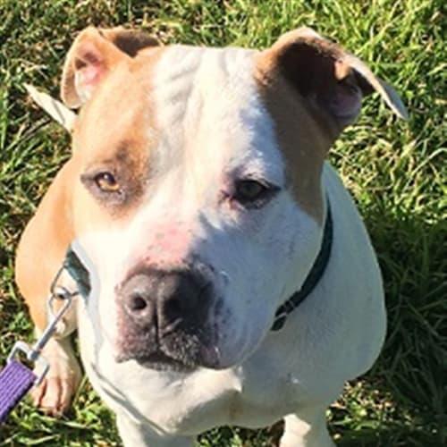 Tinkerbelle - Pit Bull x Staffordshire Bull Terrier Dog