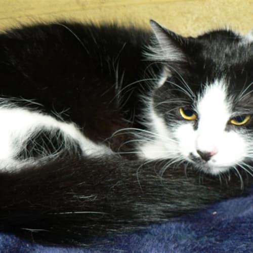 Eclipse - Domestic Medium Hair Cat