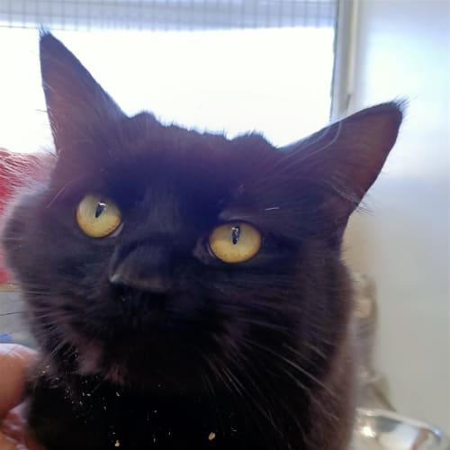Enzo - Domestic Medium Hair Cat