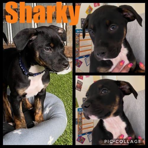 Sharky - Staffy Dog